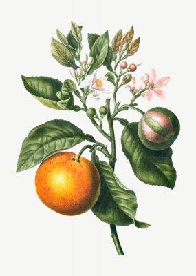 Posters Orange tree branch