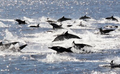 Posters Pacific Dolphin Common Stampede