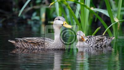 Posters Paire de canards chinés sur une rivière de Floride