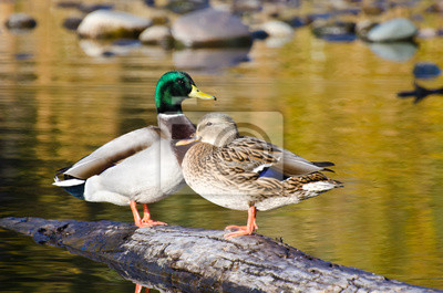 Posters Paire de canards colverts Repos dans un étang d'automne