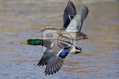 Posters Paire de canards colverts volant au-dessus de la rivière