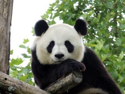 Posters Panda Géant 3