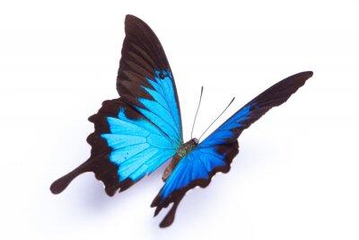 Posters Papillon bleu et coloré sur fond blanc