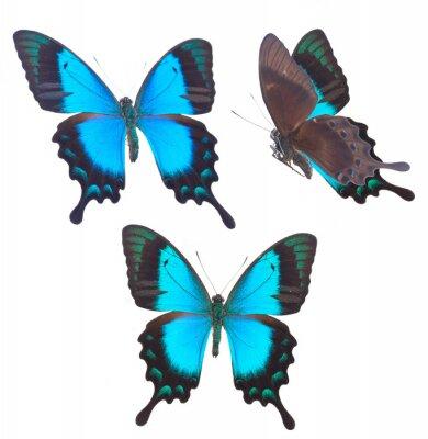 Posters Papillon de Swallowtail vert de mer