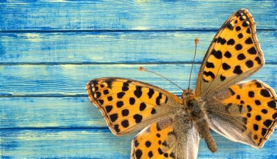 Posters Papillon, insecte, aile.