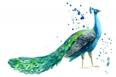 Posters peacock bird on a white background, watercolor hand drawing
