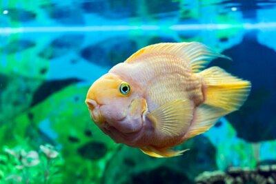 Posters Perroquet, fish, closeup