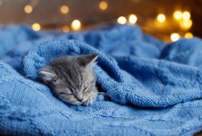 Posters Petit chaton dormant sous une couverture