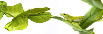 Posters Phelsuma madagascariensis - gecko isolé sur blanc