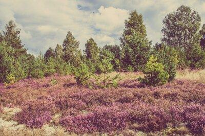 Posters Photo vintage de bruyère dans la forêt, paysage de campagne.