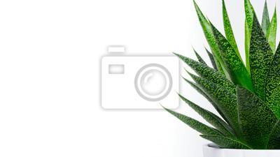 Plante succulente se bouchent. Plante succulente isolée sur fond blanc, bannière web avec espace copie.