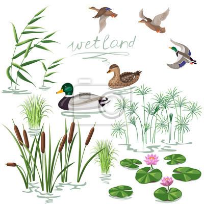 Posters plantes des zones humides et Canards Set