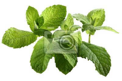 plantes fraîches de menthe