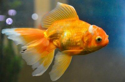 Posters Poisson d'or, poisson rouge sous l'eau