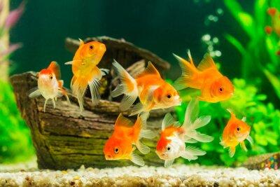 Posters Poisson rouge dans un aquarium avec des plantes vertes