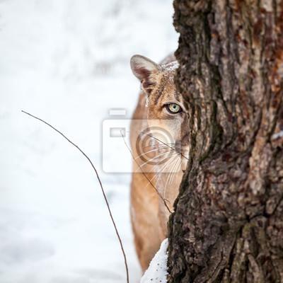 Posters Portrait d'un couguar, lion de montagne, puma, cougar derrière un arbre.