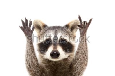 Posters Portrait d'un raton laveur drôle montrant un geste de la roche, isolé sur fond blanc