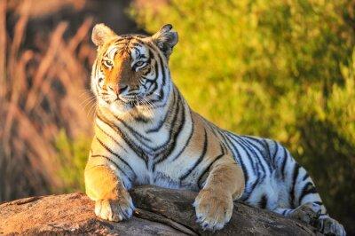 Posters Portrait d'un tigre