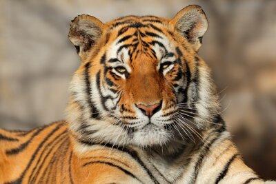 Posters Portrait d'un tigre du Bengale (Panthera tigris bengalensis).