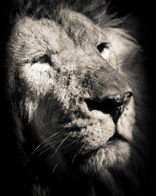 Posters Portrait de lion - photo noir et blanc
