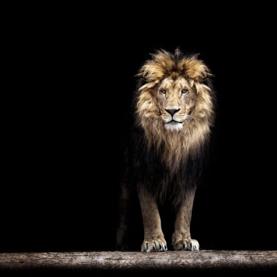 Posters Portrait of a Beautiful lion, lion in the dark