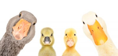 Posters Portrait of a goose, gosling, duckling, duck isolated on a white background