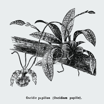 Posters Psychopsis papilio, or butterfly orchid, also known as Oncidium papilio, is a flower in the family Orchidaceae. Vintage encyclopedia illustration, engraving, scientific botany , plant clip art.