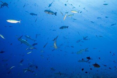 Posters Requin gris prêt à attaquer sous l'eau
