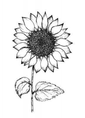 Posters Retro black outline ink pen sketch of sunflower. Hand drawn illustration of beautiful sun flower isolated on white background for botanical pattern design, greeting card decoration