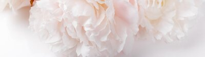 Posters Romantic banner, delicate white peonies flowers close-up. Fragrant pink petals