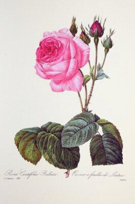 Posters Rosa centifolia bullata / Rose à feuilles de laitue