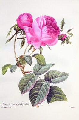 Posters Rosa centifolia / Rose Centfeuilles foliacé