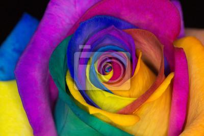 Rose Multicolore Affiches Murales Posters Petales De Fleurs