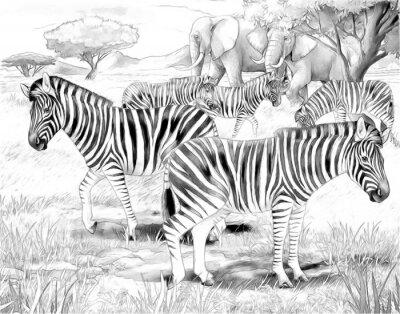 Posters Safari - zèbres - coloriage