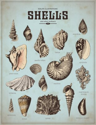 Posters Sea-Life illustrations: coquilles (1)