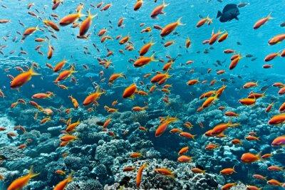 Posters Shoal, anthias, fish, corail, récif