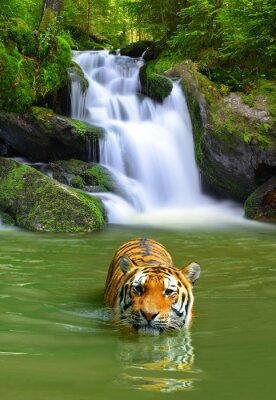 Posters Siberian Tiger in water
