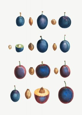 Posters Stages of a plum
