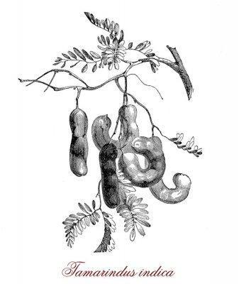 Posters Tamarindus indica
