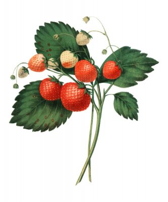 Posters The Boston Pine Strawberry (1852) by Charles Hovey, a vintage illustration of fresh strawberries. Digitally enhancedby rawpixel.