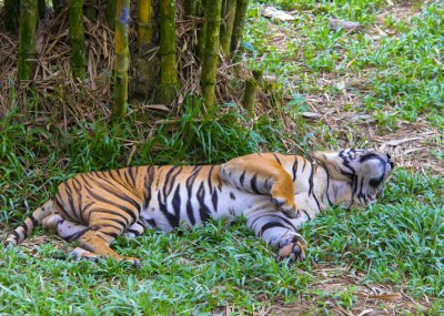 Posters Tigre asiatique.