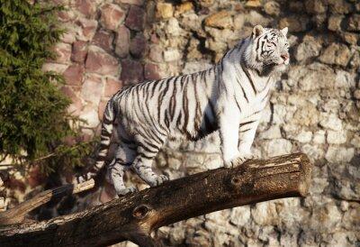 Posters Tigre blanc