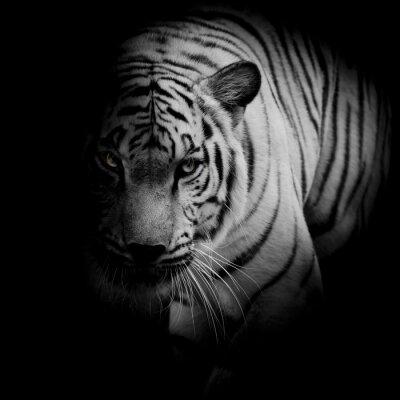 Posters Tigre blanc isolé sur fond noir