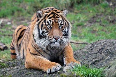 Posters Tigre de Sumatra