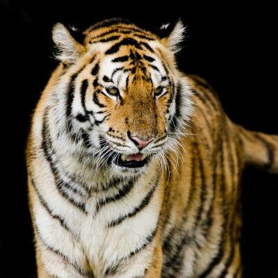 Posters Tigre du Bengale