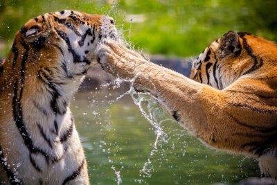 Posters Tigres