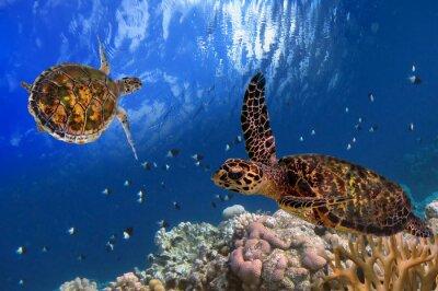 Posters Tortue de mer de Maldives flottant