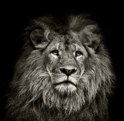 Posters triste lion