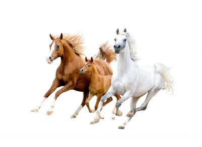 Posters Trois, arabe, chevaux, isolé, blanc