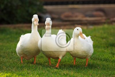 Posters Trois canards blancs sur l'herbe verte